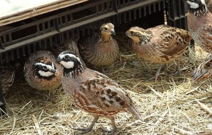 Hiệu quả kinh tế cao nhờ việc nuôi chim cút