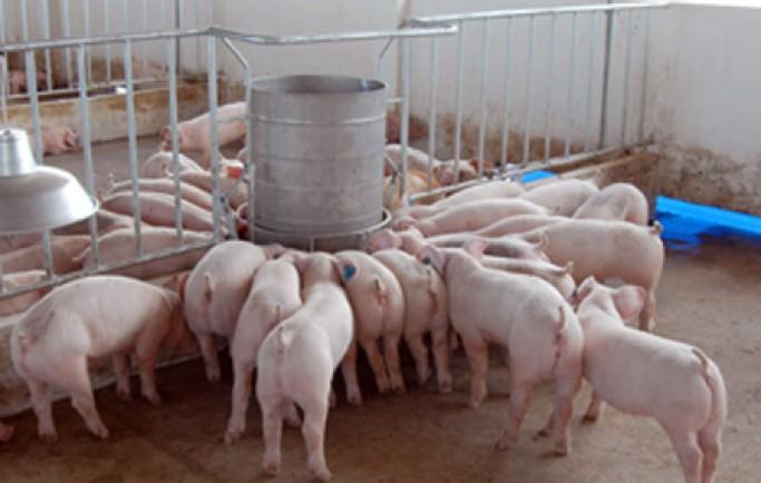 Những lưu ý khi chăn nuôi lợn