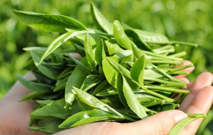Trị mụn dưới da hiệu quả với phương pháp xông hơi bằng lá trà xanh